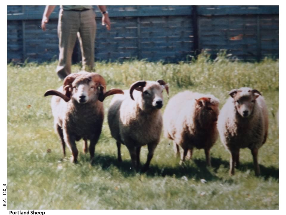 110_3-Portland_Sheep