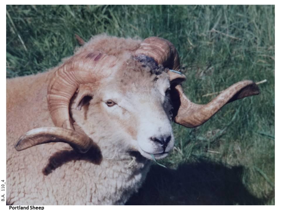 110_4-Portland_Sheep