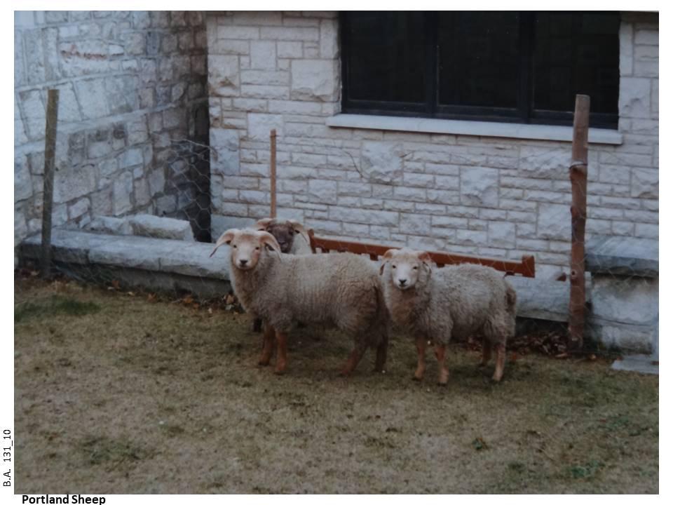 131_10-Portland_Sheep